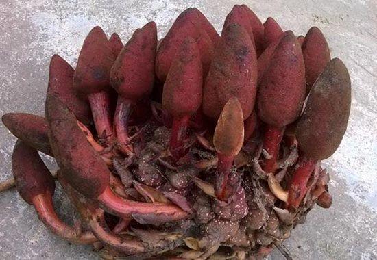 nấm ngọc cẩu là loại nấm quý của Việt Nam, rất thích hợp để ngâm rượu